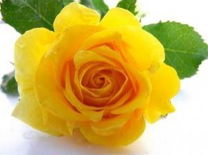 una-rosa-amarilla